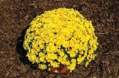 Yolanda Yellow