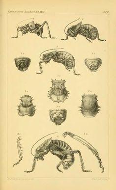 Orthopterologische Beitrage. II. Ueber die Hetrodiden - BioStor