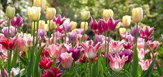 Romantisk - Malleja kukkasipuli istutuksiin