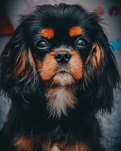 Cavalier King Spaniel, King Charles Spaniel, Cavalier King Charles, Spaniel Puppies, Dogs And Puppies, 6 Month Olds, Mans Best Friend, Dog Breeds, Cute Pictures