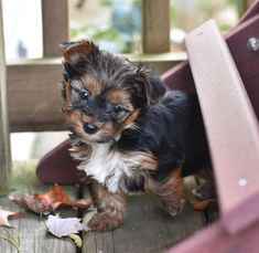 👀Looking for an awesome Yorkshire Terrier Puppy? Check out these cuties! They will bring lots of joy and love into your heart and home. They are adorable, sweet and ready to play!⚾🏕️ #Charming #PinterestPuppies #PuppiesOfPinterest #Puppy #Puppies #Pups #Pup #Funloving #Sweet #PuppyLove #Cute #Cuddly #Adorable #ForTheLoveOfADog #MansBestFriend #Animals #Dog #Pet #Pets #ChildrenFriendly #PuppyandChildren #ChildandPuppy #LancasterPuppies www.LancasterPuppies.com