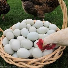 Another way to ferret out an egg-eating chicken is to watch what they do when given access to the day's egg collection.