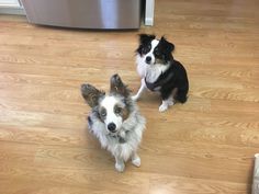 Mini Aussies! Isabeau & Buddy are small mini aussies (toy-sized). In this photo, Isabeau, the black tri-colored pup, is 18 months old, 14lbs & 14 inches tall at the shoulder. Buddy, the blue merle colored pup,is 6 months old, 18lbs & 13 inches tall at the shoulder. We love them❤️