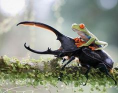 Frog Riding Beetle | Cutest Paw