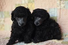 "Harper and Scout, my five week old silver toy poodle puppies.  Silvers are born black and their coats ""clear"" to silver in their first year.  Gorgeous!"