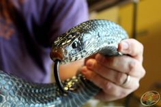 An Eastern Indigo #Snake we saw at the #Reptile Super Show!