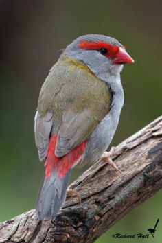 The Red-browed Finch (Neochmia temporalis) is an estrildid finch that inhabits the east coast of Australia. This species has also been introduced to French Polynesia for breeding./ by Richard Hall