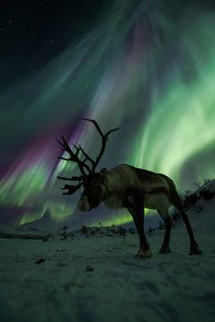 Reindeer in Norway against the Aurora Borealis / northern lights