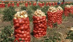 Turkey is one of the largest onion-producing countries in the world after China, India and the USA. It has 65,000 ha under cultivation and a total annual production almost two million tons-approximately 3% of the world onion production. Onion, as one of the most important crops cultivated in Turkey, is for both local consumption and export.