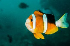 Clown fish, anemone fish in Ambon, Maluku, Indonesia underwater