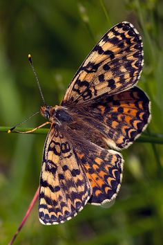 Melitaea-didyma butterfly It is found primarily in Southern and Central Europe.
