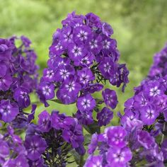 Phlox Purple Kiss. A high-performing garden phlox that is half the height of heirloom varieties. Purple Kiss has huge, violet-purple flowers on sturdy 2 foot tall stems.