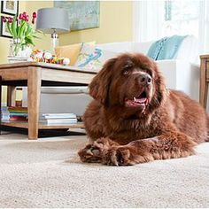 Wall-to-wall carpet designed for pets