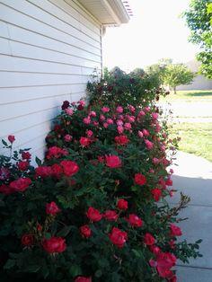 rose bushes along side of house