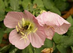 bee on pink evening primrose #centraltexasgardener