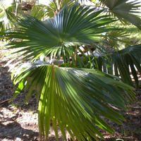 LIVISTONA JENKINSIANA SEEDS (Latania jenkinsiana, Major Jenkins Palm)