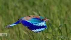 Indian roller by Awais Mustafa on 500px