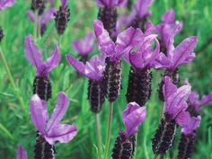 A Guide to Choosing Lavender~                Pick the perfect lavender for your garden or container