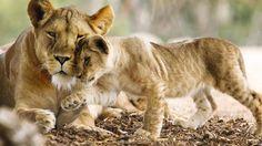 Lion Book, Cubs, Animals, Animales, Bear Cubs, Animaux, Animal, Tiger Cubs, Animais
