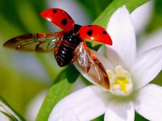 Ladybug in flight! Photo Coccinelle, Lady Bug Tattoo, Beautiful Bugs, Bugs And Insects, Architecture Art, Animal Kingdom, Pet Birds, Exotic, Cute Animals