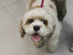 ~ Animal ID #A1032126 RUSTY! ‒ My Name is RUSTY. I am a Male, White Miniature Poodle mix. The shelter thinks I am about 2 years and 8 months old. I have been at the shelter since April 03, 2015. Animal Care and Control of New York City - Brooklyn Telephone ‒ (212) 788-4000 2336 Linden Blvd. Brooklyn, NY https://www.facebook.com/OPCA.Shelter.Network.Alliance/photos/pb.481296865284684.-2207520000.1429048503./804375016310199/?type=3&theater