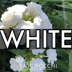 White: Light and Purity Means goodness and cleanliness Represents a successful beginning What's most important to us is that it is the color of perfection. This phlox 'David' is snowy white and helps balance out the other colors in the garden. Landscape, Garden, Plants, White Light, David, Design, Colors, Scenery, Garten
