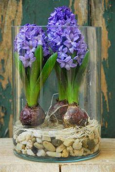 Blumenzwiebeln im Glas mit Dekosteinen, Hyazinthe