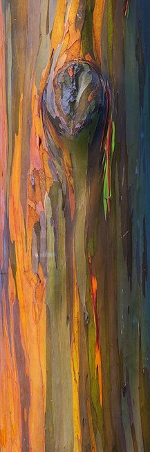 A close up study of the very unique Rainbow Eucalyptus tree. All natural color!