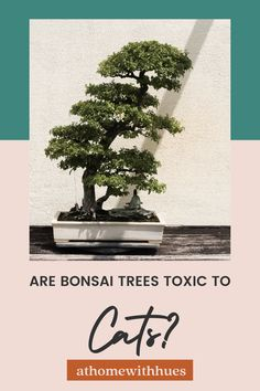 There are numerous questions and concerns about bonsai trees' safety for our furry roommates. Take a look at this guide to find out how to keep the peace between your feline and bonsai trees. Houseplants Safe For Cats, Toxic Plants For Cats, Cat Plants, Bonsai Plants, Bonsai Trees, Easy Care Indoor Plants, Bonsai Tree Types, Sago Palm, Indoor Trees