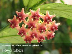 Hoya_lobbii.jpg (500×376)