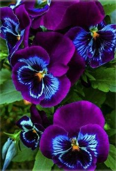 "Pansies include the colorful flowers with ""faces."" Some sort of cool-weather favored, pansies are ideal for both equally spring as well as autumn home gardens! Unusual Flowers, Amazing Flowers, Beautiful Roses, My Flower, Purple Flowers, Flower Art, Beautiful Flowers, Blue Orchids, Colorful Flowers"