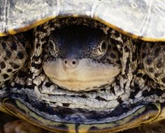 New Jersey's diamond back terrapin turtles are amazing!  Learn more about when and where to see them in article at http://www.examiner.com/article/astounding-nature-new-jersey-s-diamondback-terrapins