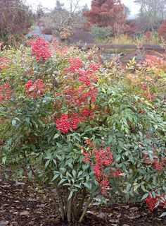 Dwarf Heavenly Bamboo - Monrovia - Dwarf Heavenly Bamboo - EVERGREEN- compact shrub brilliant red foliage and berries in fall and winter, soft and lacy foliage zone 6 thru 11 Evergreen Shrubs, Trees And Shrubs, Trees To Plant, Tropical Landscaping, Landscaping Plants, Fall Plants, Garden Plants, Container Plants, Container Gardening