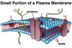 Secondary Cell Wall , 5 Pictures Of Animal Cell Membrane In Cell Category Science Tutor, Science Biology, Study Biology, Cell Biology, Plasma Membrane, Cell Membrane, Biology Online, Animal Cell, Cell Wall