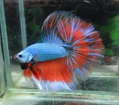 unique betta fish - Google Search