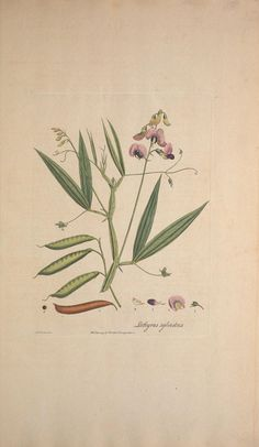 Flora Londinensis, William Curtis botanical plate sweet pea