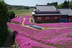 Beauty: He planted thousands of bright pinkshibazakura flowers, also known as moss phlox,...