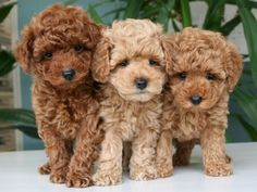 Best Images dogs and puppies labradoodle Thoughts Conduct you cherish your canine? Of course, an individual do. Right pet proper care as well as coaching will Super Cute Puppies, Cute Baby Dogs, Cute Little Puppies, Super Cute Animals, Cute Dogs And Puppies, Cute Funny Animals, Cute Baby Animals, Cute Babies, Doggies