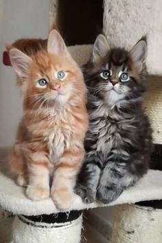7 Fun Facts About Maine Coon Cats. 🐱 - Such Cute Maine Coon Kittens and Cats! White Kittens, Cute Cats And Kittens, Baby Cats, Kittens Cutest, Small Kittens, Pretty Cats, Beautiful Cats, Animals Beautiful, Gatos Cats