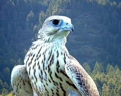 This majestic bird is the largest raptor living in North America apart from being one of the fastest birds in the world. Like the Peregrine Falcon, it achieves its highest speed during a dive while catching prey. Hd Widescreen Wallpapers, Live Wallpapers, Types Of Hawks, Ontario Birds, Fastest Bird, Polar Animals, Wild Animals, Peregrine Falcon, Birds Of Prey