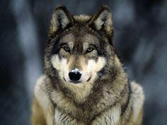 Wolf... <3
