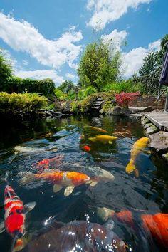 Beautiful pond! Pretty large Kohaku, Showa, Asagi, Kigoi/Karashigoi, Ochiba Shigure & Hi Utsuri among others!