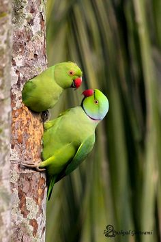 Cute Birds, Pretty Birds, Beautiful Birds, Ring Necked Parakeet, Animals And Pets, Cute Animals, Parrot Bird, Reptiles And Amphibians, Colorful Birds
