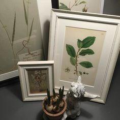 #nyhet ! Snart finns det #ram till mina fina #vintage #planscher och #herbarium  #butterflyvintage