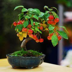 increibles-bonsais12 Manzano