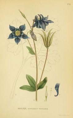 Billeder af nordens flora. v.1 København,G.E.C. Gad's forlag,1917-1927. biodiversitylibrary.org/page/10459553