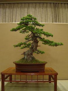 http://philosophy-of-bonsai.cocolog-nifty.com/photos/uncategorized/2009/10/13/019.jpg