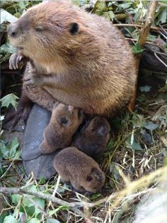 Mama and baby beavers- not otters, but still brown and adorable.