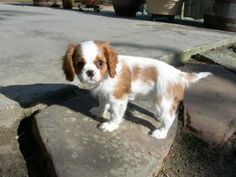 Cavalier Pup