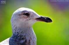 Baltic Sea Gull  #nature #wildlife #birds #photography